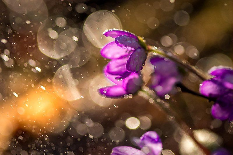 Purple bell-shaped flowers are seen close up at dawn, droplets of rain creating circular bokeh effects in the background.