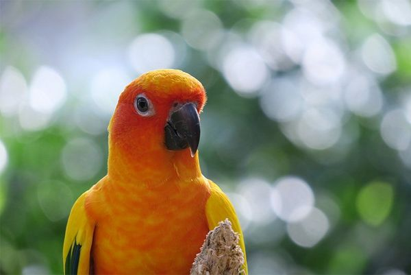 A bright yellow-orange parrot looking at the camera.
