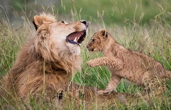 A lion cub sits on the back on an adult male lion, playing.