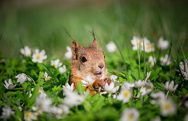 A squirrel looks up, paws in front of its body, surrounded by a field of white daisies and lush green grass up to its shoulders. Photo by Ossi Saarinen.