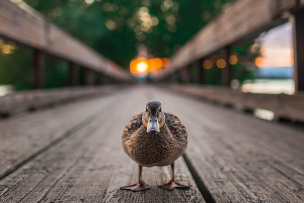 A female duck stands in the middle of a wooden bridge at dawn, looking straight at us.
