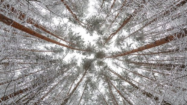 A view looking up at a stand of pine trees covered in snow.