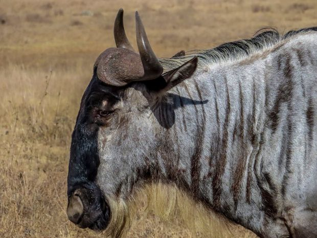 A close up shot of a wildebeest in Nairobi National Park, taken by Georgina Goodwin.