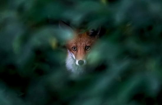 A fox stares through a gap in a bush, which is out of focus.