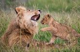 A lion cub plays with its father in long grass.