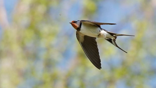 A swallow in flight, photographed with a Canon EOS 90D.