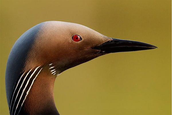 Close-up of a black-throated diver, photographed with a Canon EOS 90D.