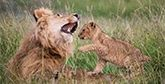 A lion cub playing with a male lion.