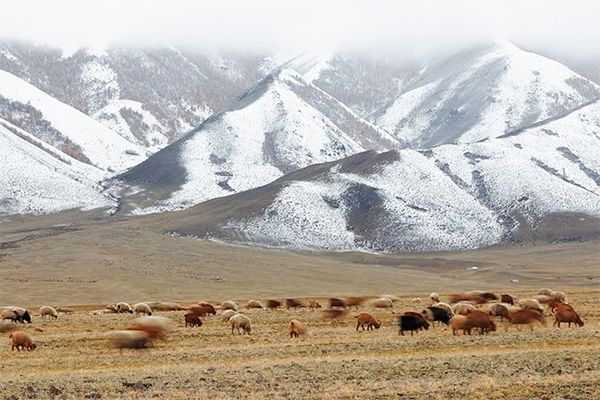 A herd of brown cattle graze on grass in front of a few low mountains sprinkled with snow.