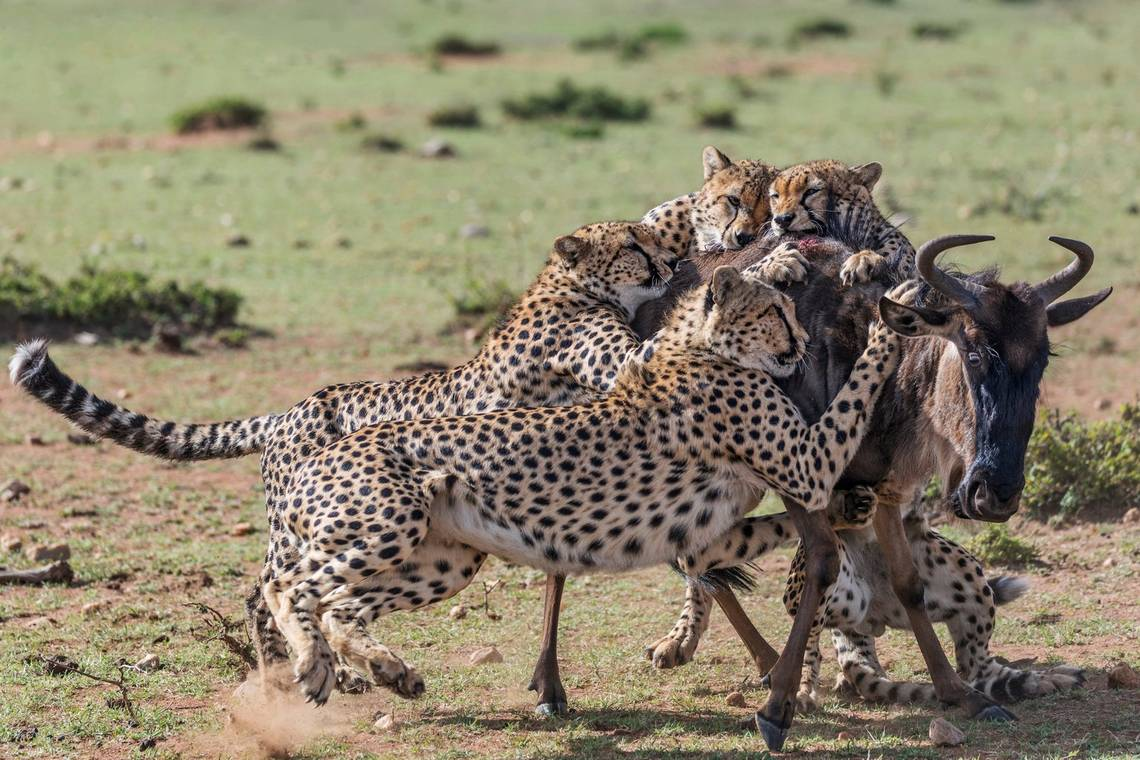Cheetahs bring down a wildebeest, photographed on a Canon EOS 5D Mark IV by Jonathan and Angela Scott.