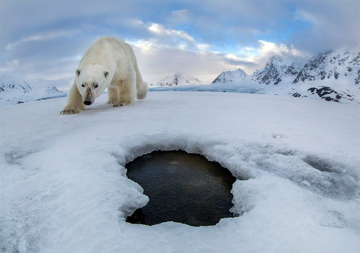 A polar bear lumbers towards a breathing hole in the ice in a frozen Arctic landscape.