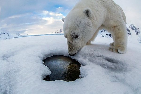 A polar bear takes a close look into a breathing hole in the Arctic ice.