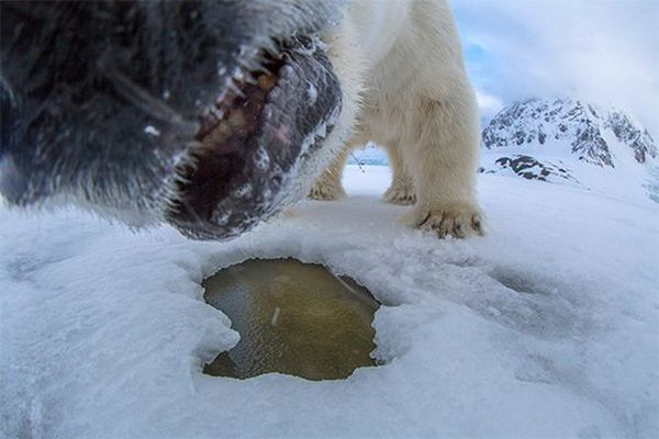 The polar bear's muzzle almost in contact with the camera.