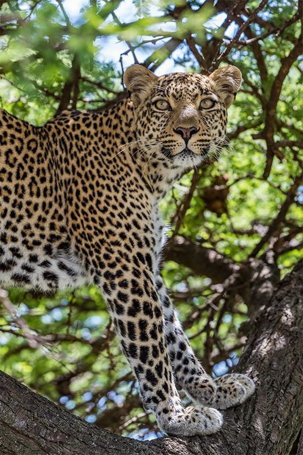 A low-angle shot shows a leopard's head and front paws as it perches high up in a tree, blending in slightly with the dappled light from the treetop.