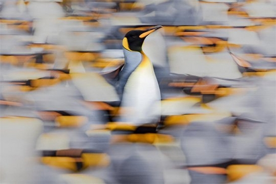 One king penguin stands tall and sharp amid a blurred colony of other penguins. The penguin has a white chest, grey neck and sides, golden cheeks, beak and front of the neck, and a black face.
