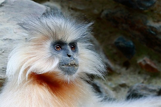 A portrait of a Gee's golden langur, photographed by Christian Ziegler in Bhutan.
