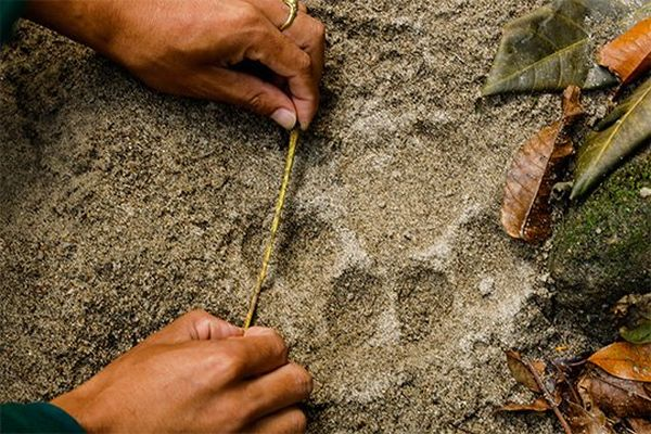 An animal pawprint being measured with a tape measure, photographed by Christian Ziegler on a Canon EOS R.