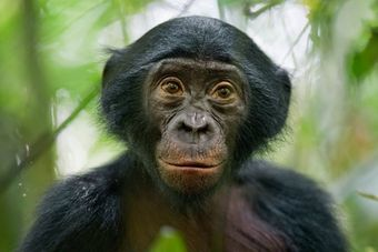 A portrait of a wild four-month-old bonobo in the Democratic Republic of the Congo.