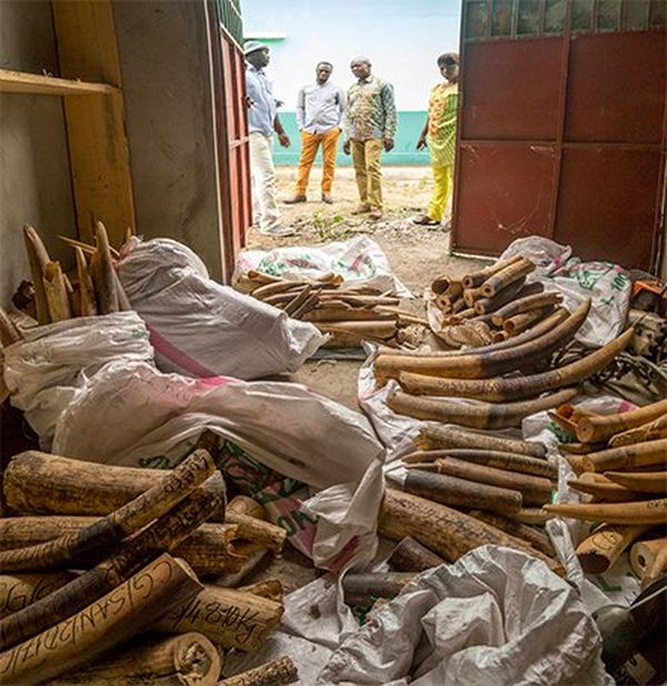 200 elephant tusks in a store room, photographed by Daniël Nelson on a Canon EOS 6D.