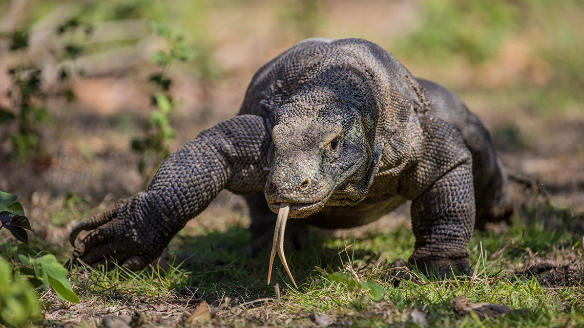 A Komodo dragon is shown walking towards the camera, across a patch of grass and plants, with its tongue out.