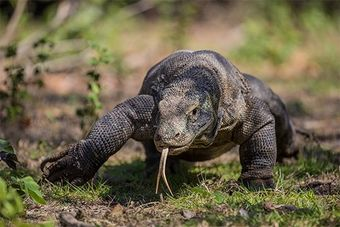 Fergus Kennedy on the challenges of getting authentic Komodo dragon shots.