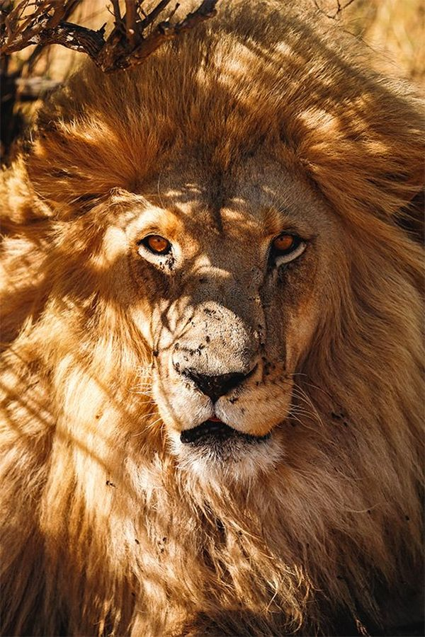 An African lion portrait.