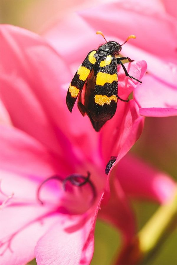 A bee in a pink flower.