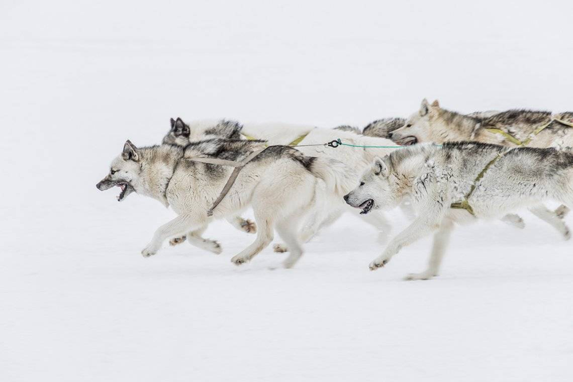 A pack of grey and white thick-furred Greenland dogs run in unison, harnesses strapped to them to pull a sleigh that is off-camera.