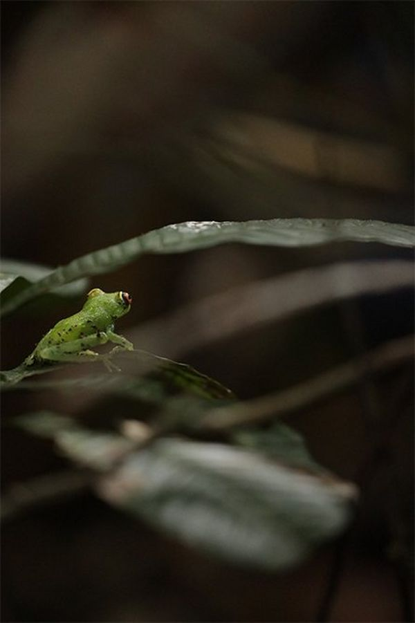 A bright green tree frog.
