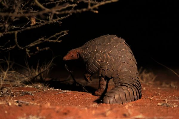 A close-up of a pangolin, taken on the Canon EOS-1D X Mark III.