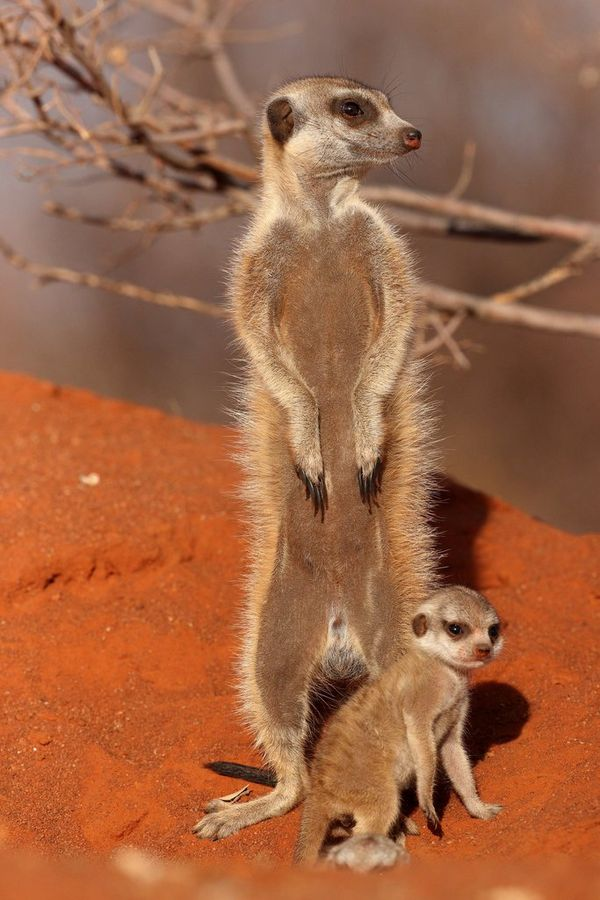 A close up of a meerkat and its pup shot on the Canon EOS-1D X Mark III.