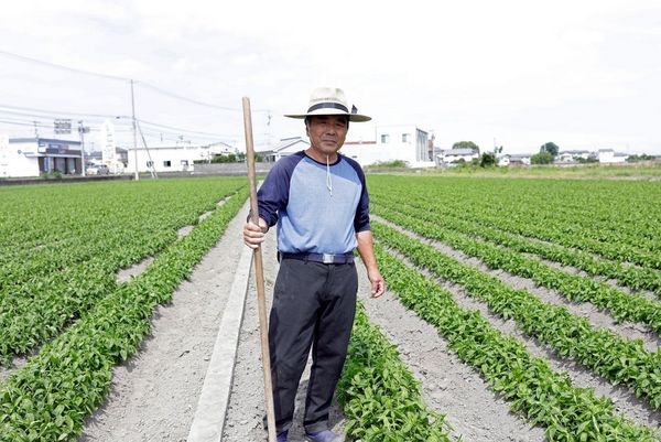A worker standing in a field of Indigo plants.
