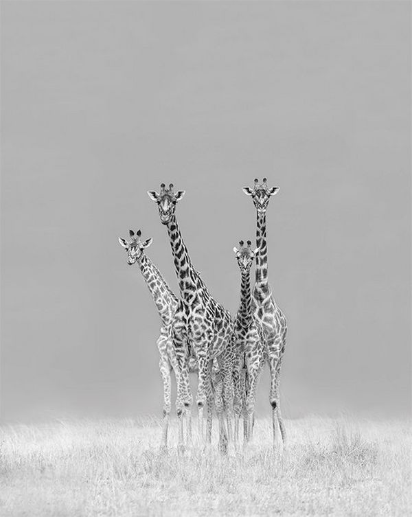 Four giraffes in back and white. Photo by Marina Cano on a Canon EOS-1D X Mark II.