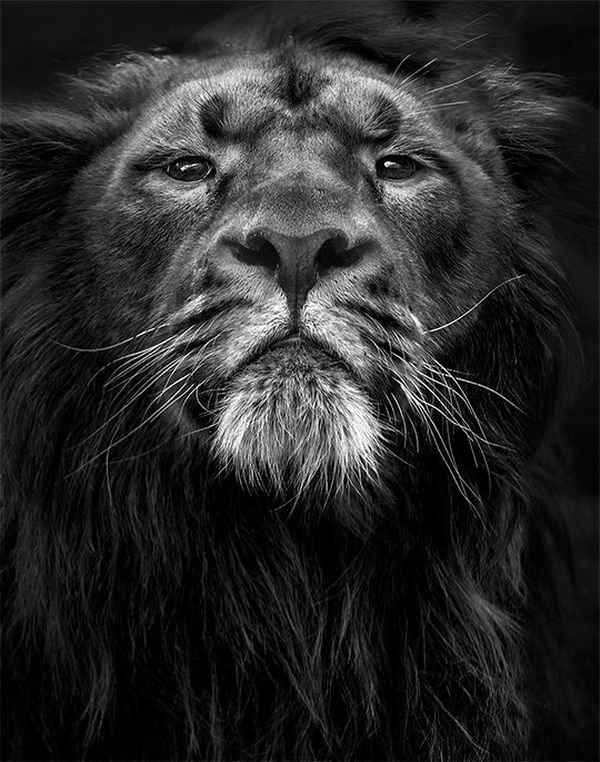 A lion in profile. Photo by Marina Cano on a Canon EOS-1D X Mark II.