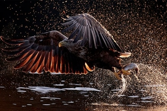 A white-tailed eagle snatches a fish from the water. Droplets of water glisten in the sun behind the bird and its prey.