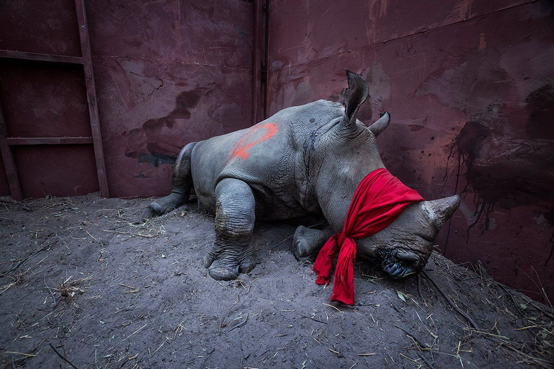 Neil Aldridge's Conservation Photography Techniques: A blindfolded young rhino lies on the dirt floor of a metal-walled enclosure.