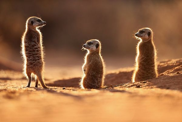 Three meerkats bathed in sunlight in the Kalahari Desert. Photo by Marina Cano.