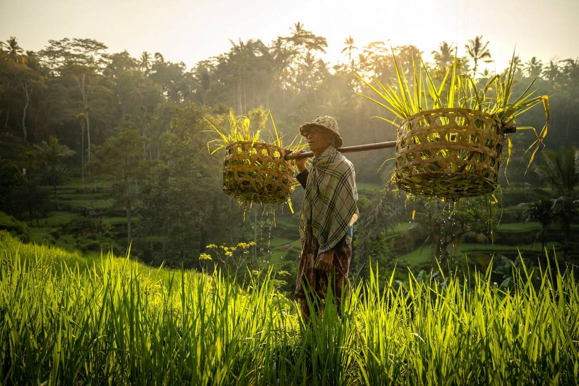 A rice farmer holds a basket across his shoulders in paddy fields in Indonesia. Taken by Joel Santos.