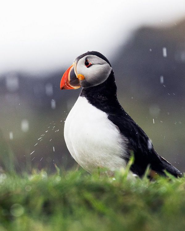 A puffin in the rain. Photo by coastal landscape photographer Carla Regler.