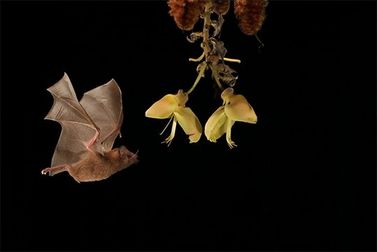 A nectar-eating bat approaches the liana woody vine and is photographed mid-flight. Photo by Christian Ziegler.