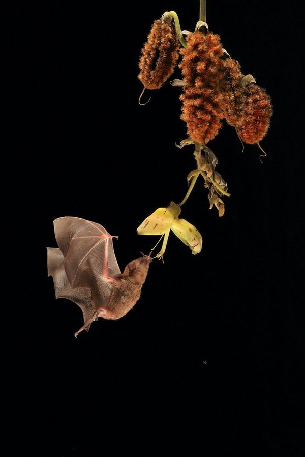 Like a hummingbird, a bat hovers in the air to feed from a flower.