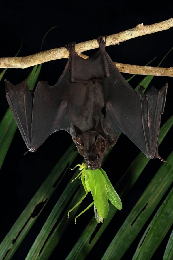 A bat feasts on a bright green cricket.