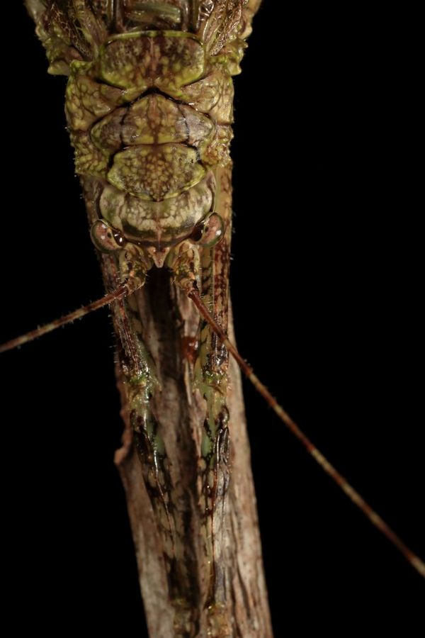A close-up of a stick-like insect.