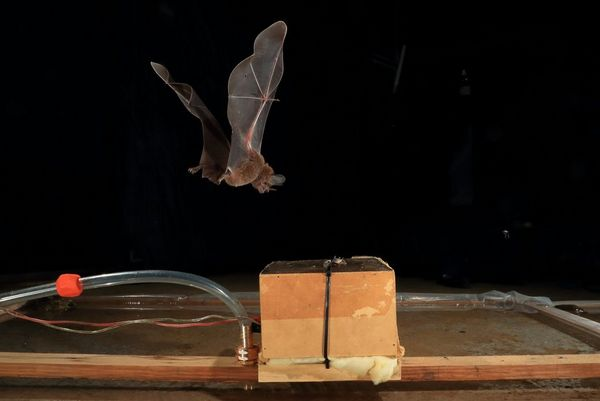 A bat flies towards a food lure on a table.