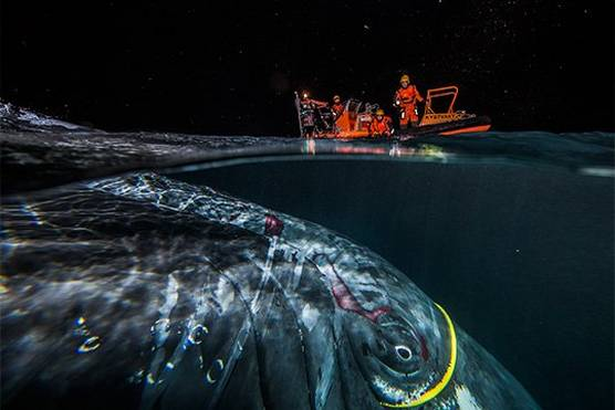 Below the water is a whale, caught in a yellow plastic cable, with cuts to its skin. Above the water, under a night sky filled with falling snowflakes, is an orange coastguard boat with rescuers on board.