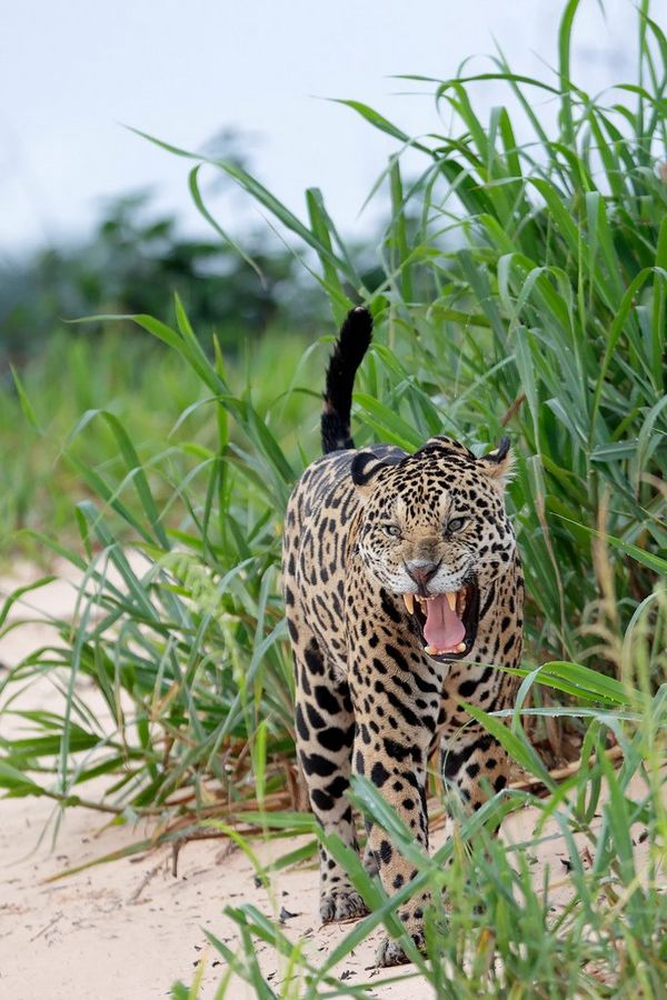 A Jaguar standing growling in the foliage on the banks of a river in Brazil's Pantanal wetlands. Taken by Thorsten Milse.