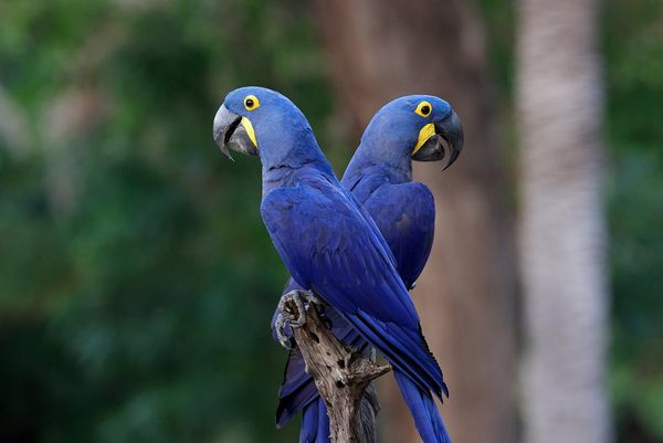 A pair of striking blue tropical birds photographed in the jungle in Brazil's Pantanal wetlands by Thorsten Milse.