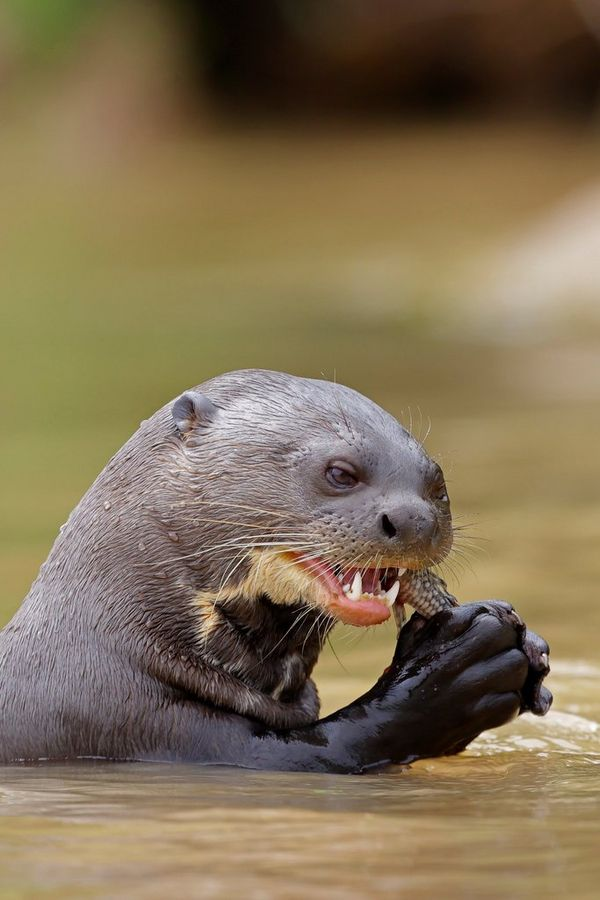 Partially submerged, a giant otter holds its prey in its paws and takes a bite. Taken by Thorsten Milse.