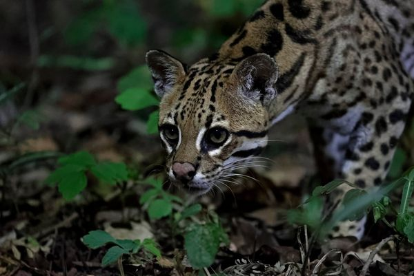 An ocelot looks intently into the darkness in the jungle in Brazil's Pantanal wetlands. Taken by Thorsten Milse.