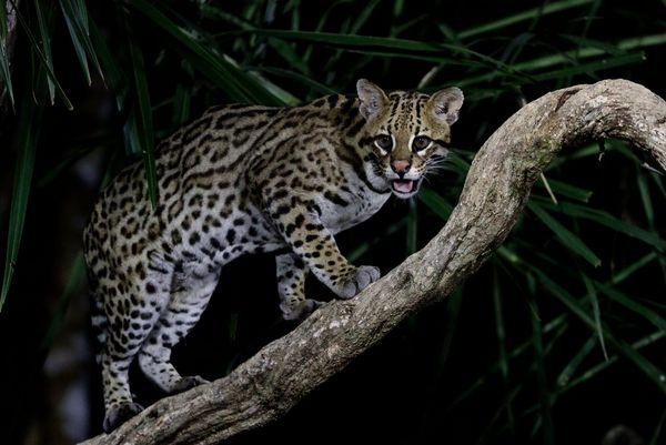 An ocelot stands on a curving tree branch in the Pantanal region of Brazil, photographed in low light by Thorsten Milse.